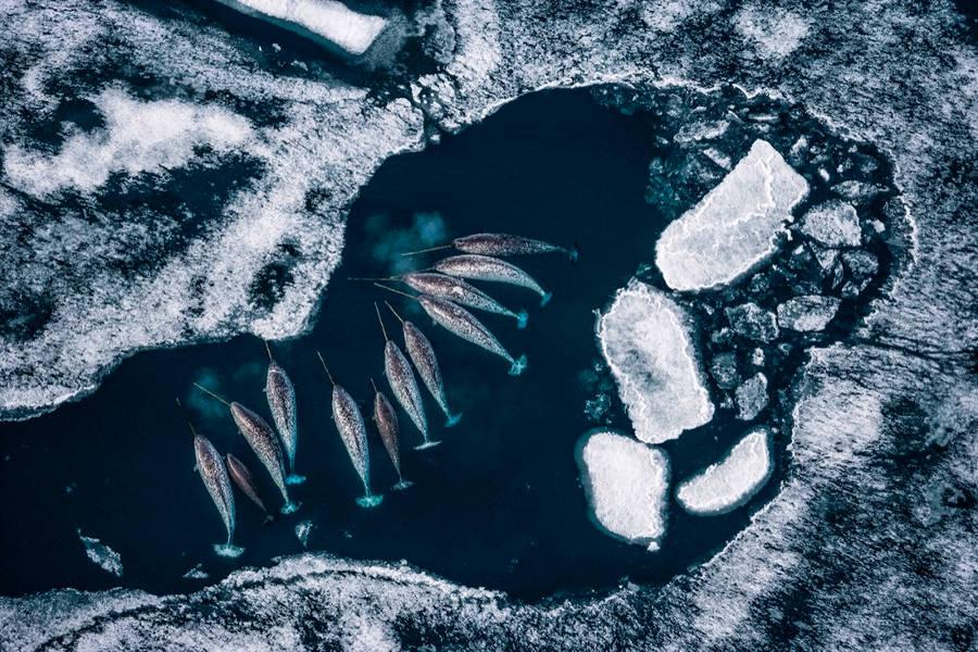 Những con độc giác ngư đực đang nằm nghỉ ngơi ở một vùng biển của Canada