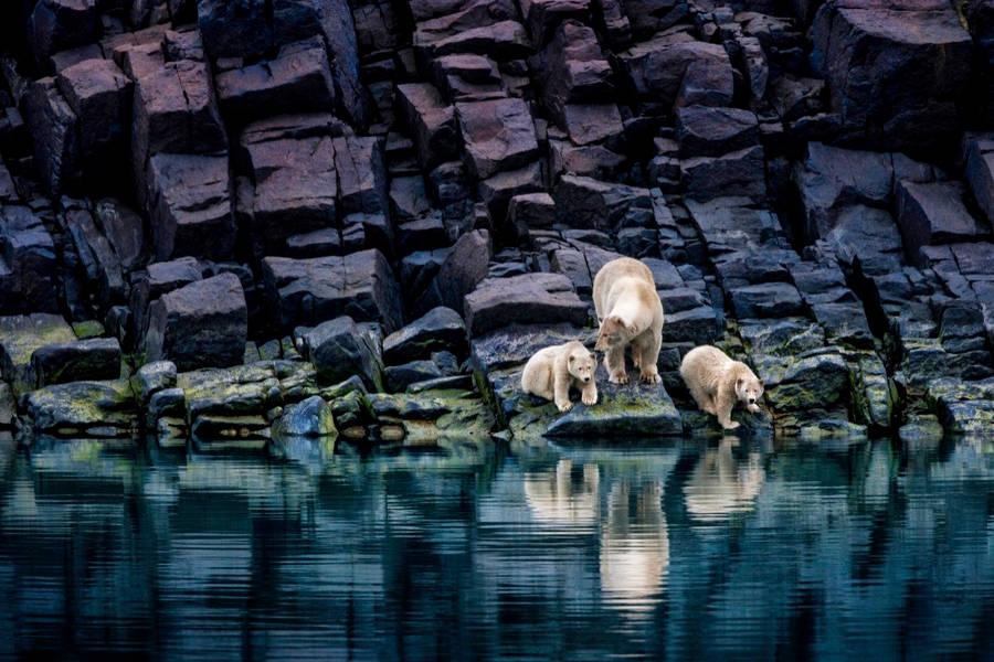 Ở một vùng xa xôi phía bắc nhưng không có băng, những chú gấu Bắc Cực đang bị kẹt lại trên các tảng đá