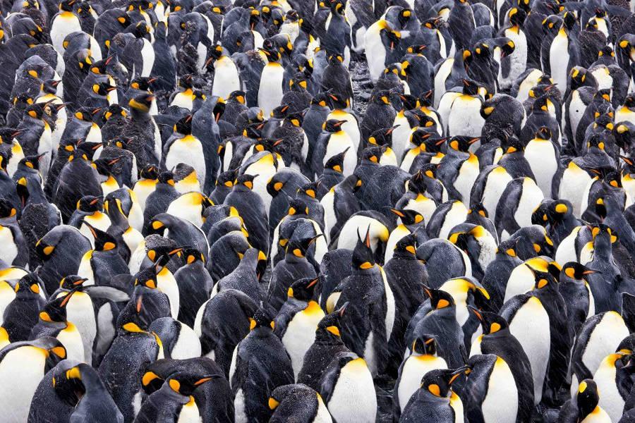 Chim cánh cụt Hoàng đế đang tập trung thành đàn ở vùng cảnh Gold, đảo nam Georgia, Nam Cực