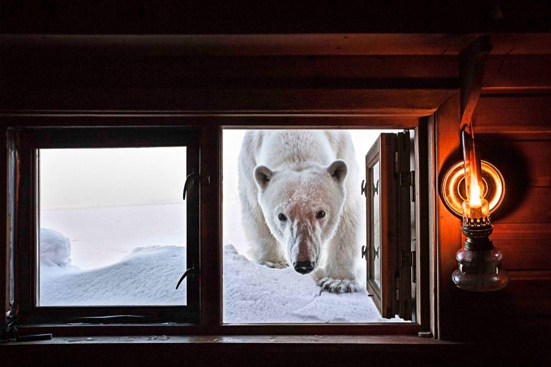 Một chú gấu Bắc Cực đang tiến đến khoang của nhiếp ảnh gia Paul Nicklen
