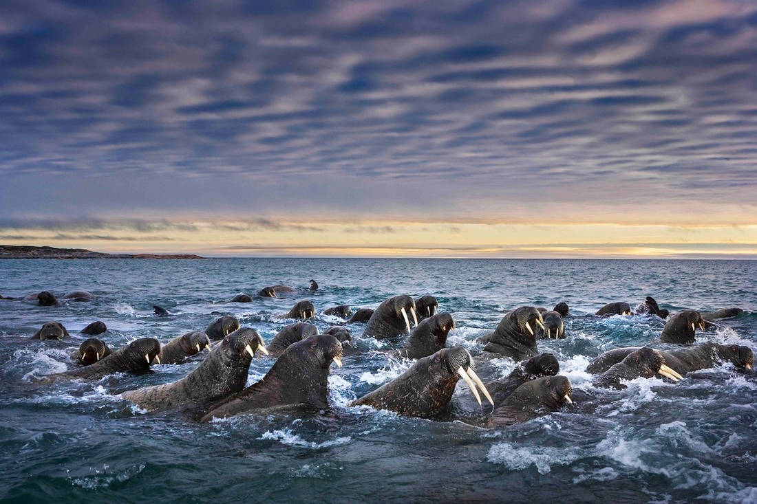 Những con hải mã nanh dài đang bơi qua vùng biển Svalbard