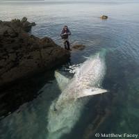 Xác cá mập quái vật dài 8 m phơi bụng trên bờ biển Anh
