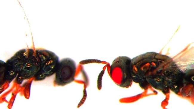 Những con ong có đôi mắt đỏ ngầu, rực lửa như những sinh vật đến từ địa ngục