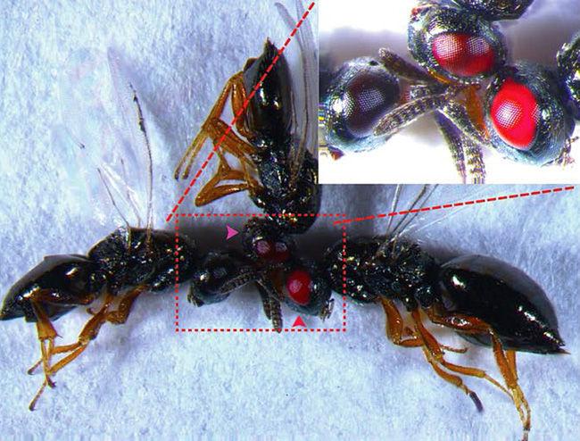 Những con ong mắt đỏ này có thể coi là đối tượng thử nghiệm chỉnh sửa gene bằng CRISPR