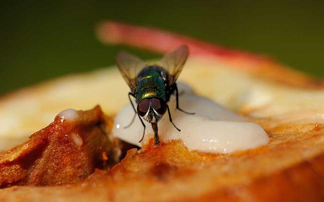 Chỉ trong khoảnh khắc ruồi đụng vào thức ăn, chúng... nôn lên đó