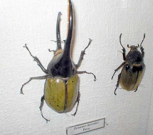 Cá thể bọ cánh cứng đực (trái) và cái (bên phải).