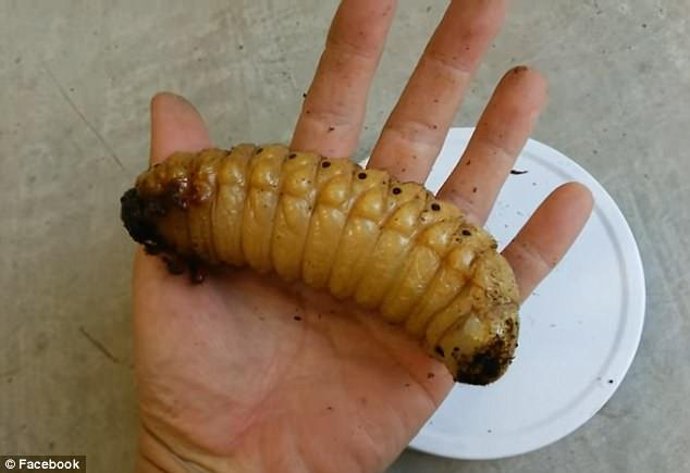 Ấu trùng bọ cánh cứng Hercules ngủ yên trong kén.