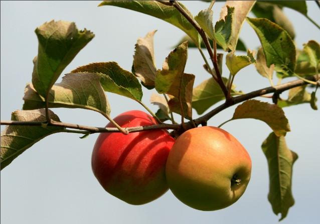 Sự thật là trong Kinh thánh không hề nhắc đến quả táo.