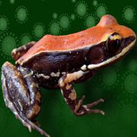 Chất nhờn trên da ếch có khả năng điều trị dịch cúm