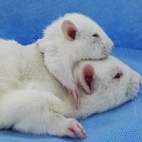 Các nhà khoa học vừa cấy ghép thành công tạo ra chuột 2 đầu