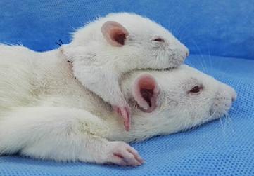 Cấy ghép đầu của một con chuột vào một con chuột lớn.