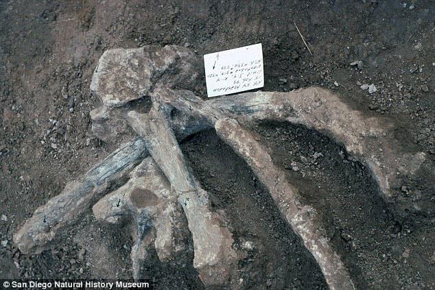 Hóa thạch của mastodon.