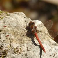 Chuồn chuồn cái sẽ giả chết để tránh bị con đực gạ tình