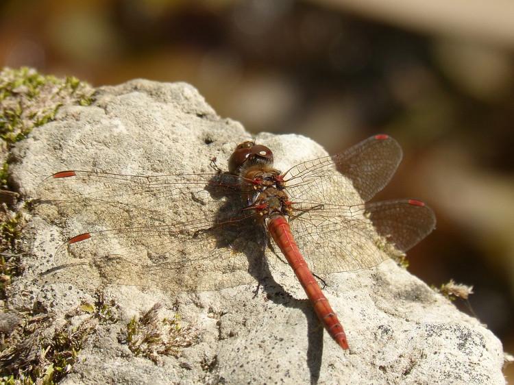 Chuồn chuồn cái thường có khuynh hướng giả tạo kịch bản một vụ tai nạn để ngăn ngừa những con đực ve vãn, gạ tình.