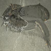 Phát hiện hóa thạch loài tôm kỳ lạ có mai và 50 cái chân