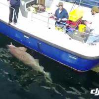 Cá mập quái vật nặng 7 tạ cắn câu ngư dân Ireland