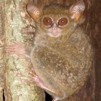 """Phát hiện loài khỉ được mệnh danh """"yêu tinh rừng rậm"""", có thể xoay đầu 360 độ"""