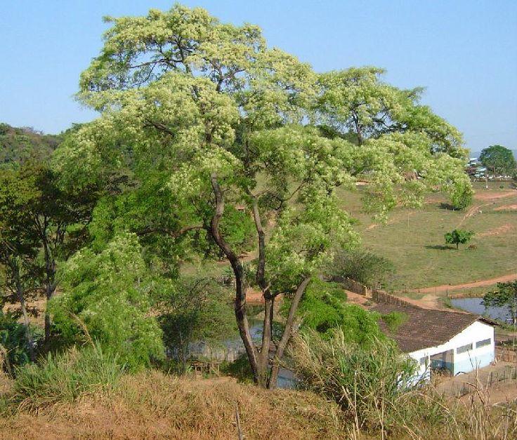 """Loài cây """"huilco"""", cây thánh đối với người dân địa phương."""