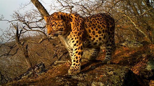 Báo Amur chỉ còn ít hơn 60 con trên khắp thế giới tự nhiên.