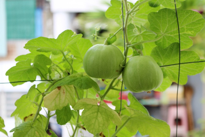 Dưa lê là loại trái cây mùa hè phổ biến ở Việt Nam.