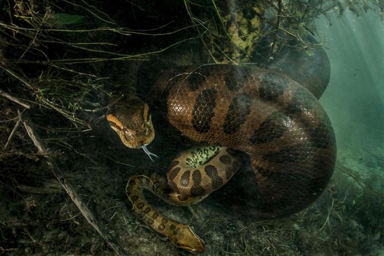 Con trăn cái khổng lồ siết chết con đực nhỏ hơn nhiều lần.