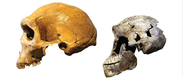 Não loài Homo naledi (phải) so với não người Homo sapiens.