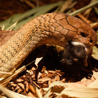 Hổ mang chúa mắc ung thư da uống thuốc giấu trong xác chuột