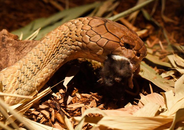 Con rắn hổ mang mắc bệnh ung thư da ở vườn thú Denver.