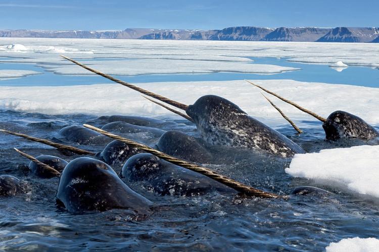 """""""Công dụng"""" mới về chiếc ngà của kỳ lân biển – đó là dùng ngà để săn cá tuyết."""