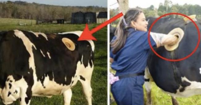 Những chú bò lại có một cái lỗ lớn trên người, trông có vẻ rất đáng sợ.