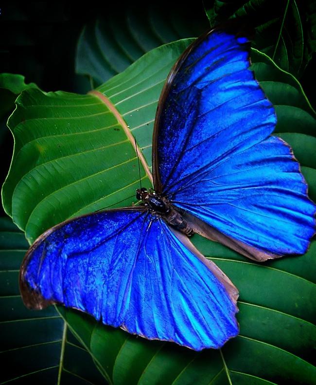 Loài bướm Morpho Didius quý hiếm.