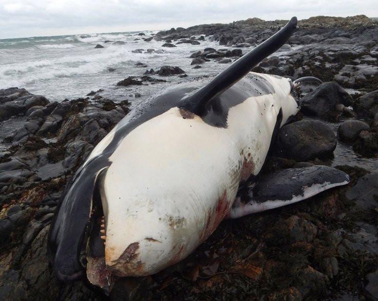 Cá voi Lulu có mức nhiễm độc cao cao gấp 80 lần mức an toàn mà loài cá này có thể chịu được.