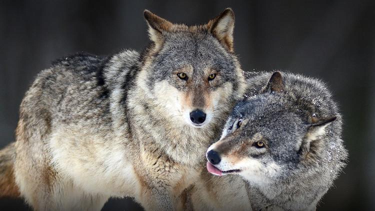 Chó sói là loài vật thường kết đôi và chung sống với nhau suốt đời.