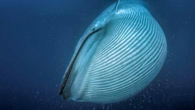 Cá voi xanh là động vật lớn nhất trên Trái Đất.