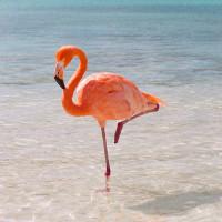 Bạn có biết vì sao hồng hạc có thể đứng hàng giờ bằng 1 chân không?