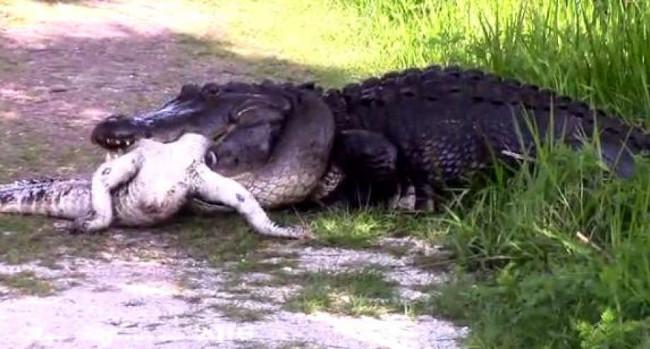 Cá sấu nổi tiếng hung dữ khi có con vật khác tiến vào lãnh thổ.