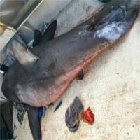 Chuyên gia suy đoán nguyên nhân cá mập bay lên thuyền ngư dân Australia