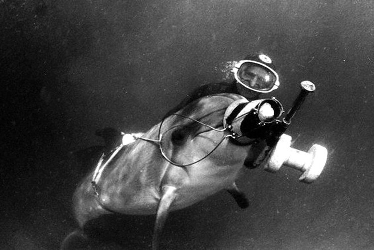 Cá heo từng được sử dụng cho mục đích quân sự trong thời kỳ Chiến tranh lạnh.