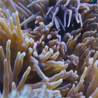 Phát hiện thuốc giảm đau trong chất độc của loài hải quỳ