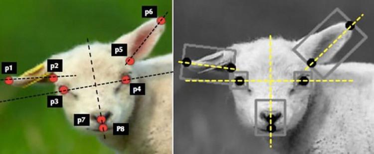 Những biểu hiện trên khuôn mặt cừu cho chúng ta biết chúng có đang bị đau hay không.