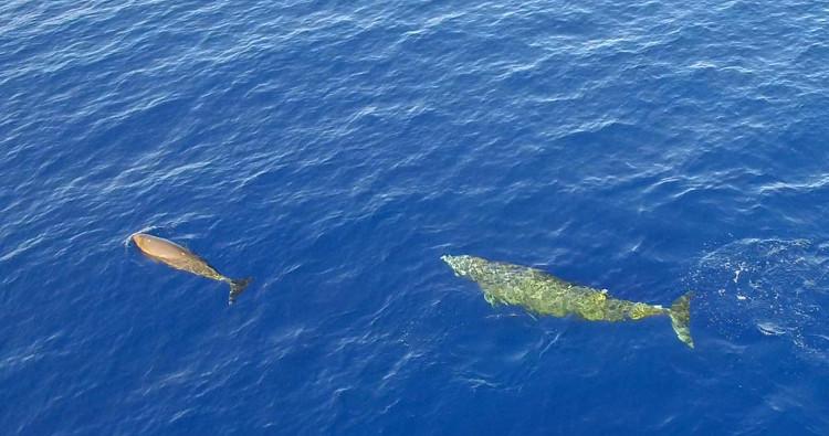 Khả năng lặn đặc biệt của cá voi mõm khoằm Cuvier gây khó khăn cho quá trình nghiên cứu.
