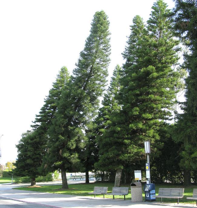 Thân cây thông Cook luôn bị nghiêng, hướng về phía đường xích đạo.