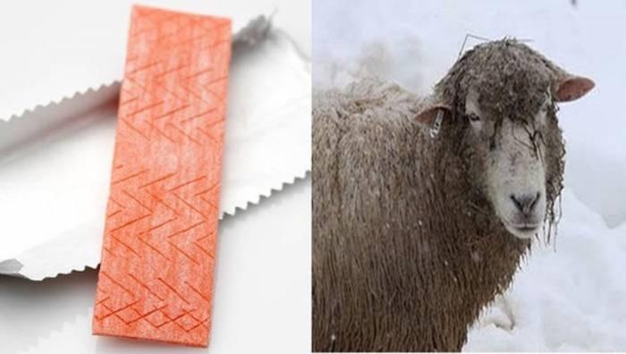 Kẹo cao su chứa nhiều lanolin, chất bài tiết giống như sáp trên da cừu.