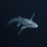 Cá mập ma trữ tinh trùng của con đực để dùng dần