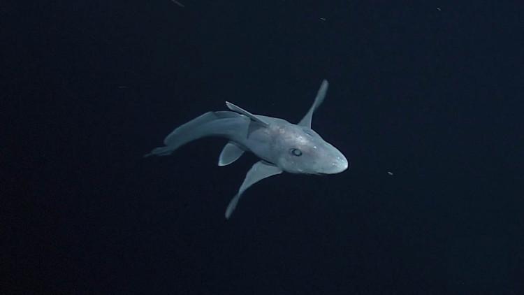 Cá mập ma tồn tại trên Trái Đất từ trước thời khủng long.