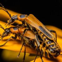 """Kỳ lạ loài bọ Zombie có hành vi """"đồi bại"""" trong tự nhiên"""