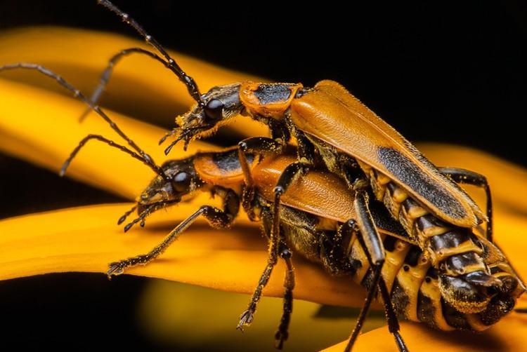Loài bọ bị kí sinh trùng bắt ép quan hệ với xác chết...