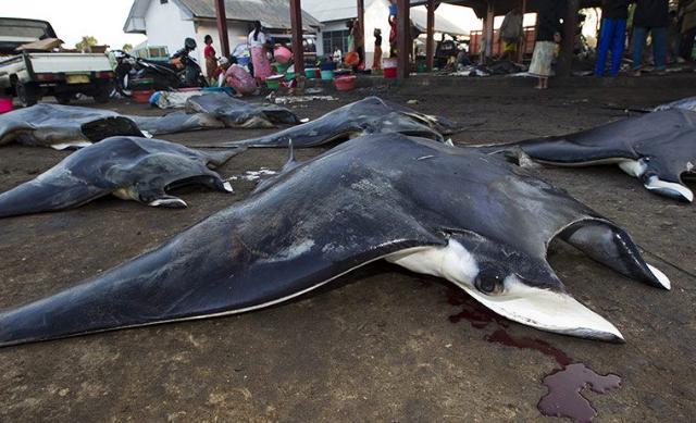 Loài cá này bị săn bắt quá mức và đang đứng trước nguy cơ bị tuyệt chủng