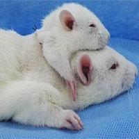 Bác sĩ Italy nối tủy chuột thành công bằng keo đặc biệt