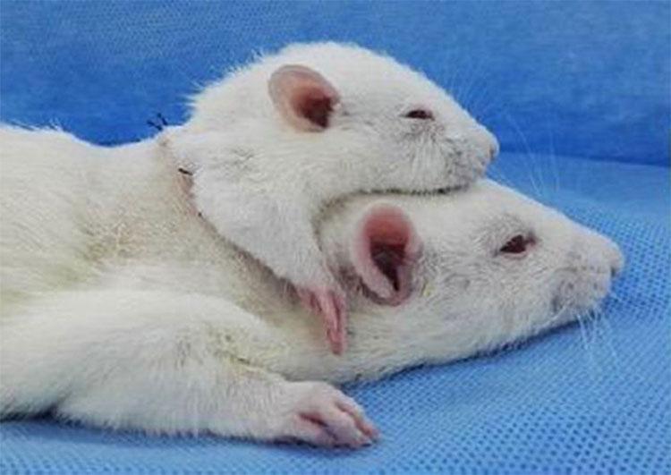 Đầu chuột nhắt được ghép vào mình chuột cống trong thí nghiệm hồi tháng 4 của bác sĩ Canavero.